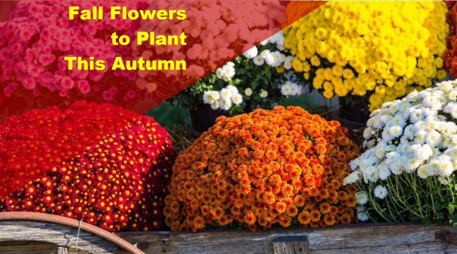 Fall Flowers to Plant This Autumn